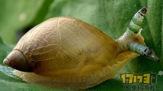 寄生虫已经侵入蜗牛眼部,眼部色彩非常靓丽,蜗牛两眼各有一条寄生虫 这种寄生虫在胞蚴期侵入琥珀螺体内后,会挤进蜗牛细细的眼柄里,然后不断伸缩蠕动。胞蚴的身上有十分显眼的彩色条纹,蠕动起来尤为引人瞩目。 详见以下视频: 在寄生于蜗牛体内后,胞蚴还能控制蜗牛往高处和亮处爬。