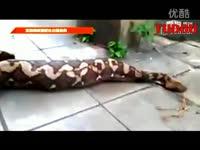 蟒蛇/高清专辑实拍网纹蟒蛇吐出整条狗/蟒蛇