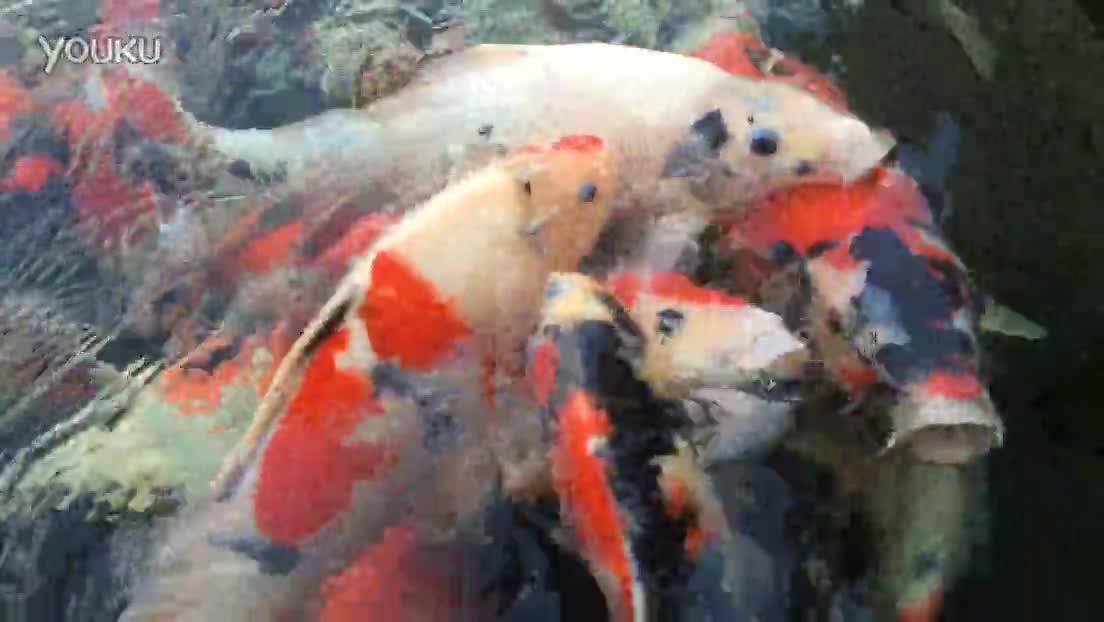 锦鲤池在线看_锦鲤鱼池过滤池设计图mp4